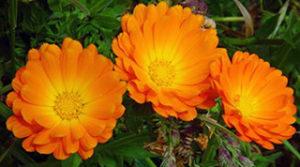 Marigold flowers (calendula officinalis).